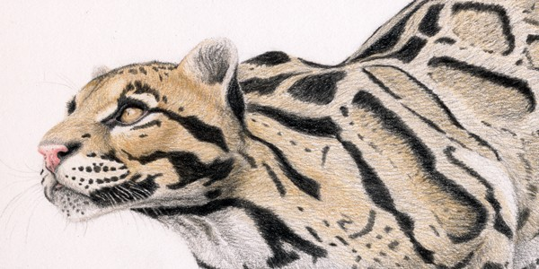 Clouded Leopard - Click here to visit the online Gallery