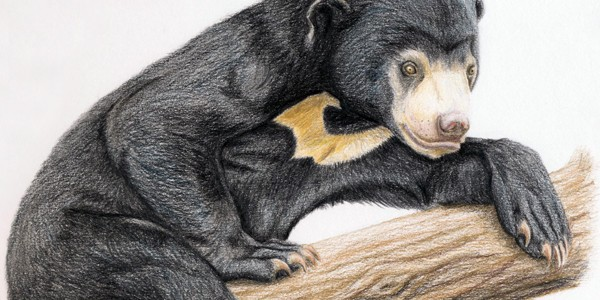 Sun Bear - Click here to visit the online Gallery