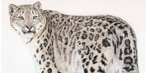 Snow Leopard - Click here to visit the online Gallery