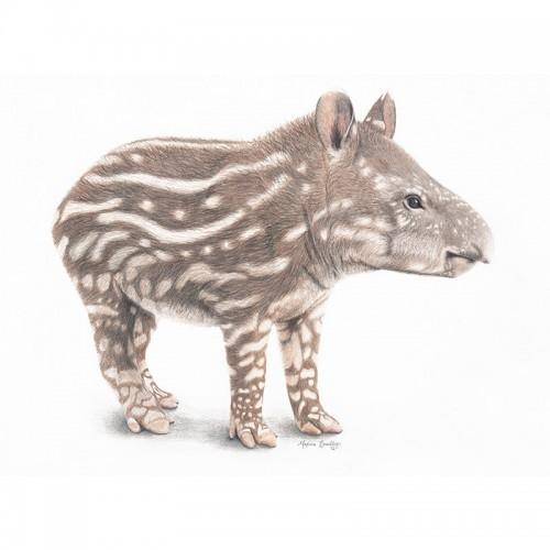 South American Tapir Calf